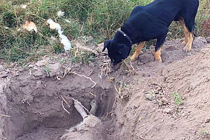 智利狗狗刨土葬友 令人感动