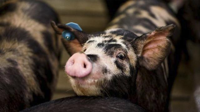 当孩子患上遗传疾病 能救他们的竟然是小猪