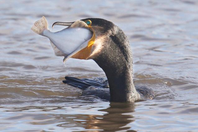 环球图片一周精选 鸬鹚捕鱼一口吃成大胖子