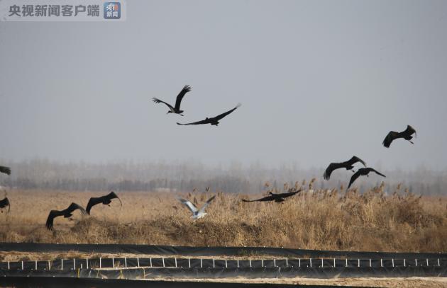 """""""鸟中熊猫""""黑鹳现身黄河湿地 全球仅剩2000只"""