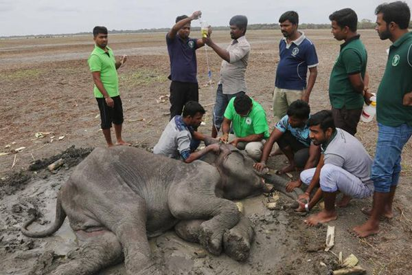 斯里兰卡小象遭偷猎者枪击奄奄一息  众人齐救助