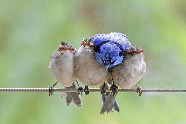 霸道!澳大利亚蓝色雄鹪鹩强行挤进三只雌鸟中间