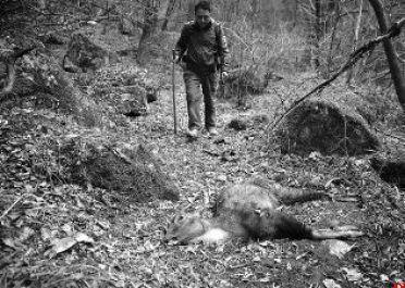 秦岭发现15只斑羚尸骸
