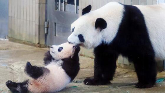 日媒:日本园方盼熊猫香香能带来23亿收入!