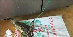 朋友圈直播宰杀鳄鱼 烧烤店老板被刑拘