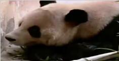 擦嘴太酸爽!大熊猫便便卫生纸来了:售价高昂
