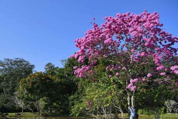 冬日西双版纳树木葱茏繁花似锦