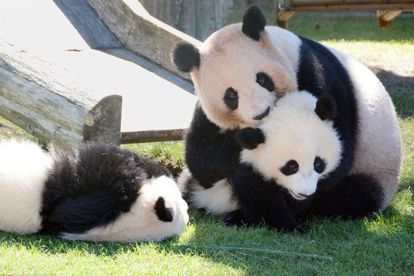 日本上野动物园大熊猫香香太火遭嫉妒 和歌山县称我们也有