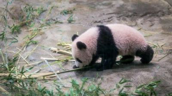 """日媒:熊猫""""香香""""效应为上野带来巨大商机"""