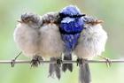 蓝色雄鹪鹩强行挤进雌鸟间