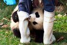 全球熊猫宝宝萌化人心