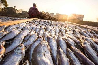 鄱阳湖畔渔民晒鱼忙