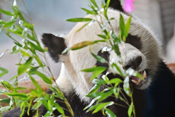 """旅德大熊猫""""娇庆""""抱啃竹子 耍宝卖萌胃口好"""