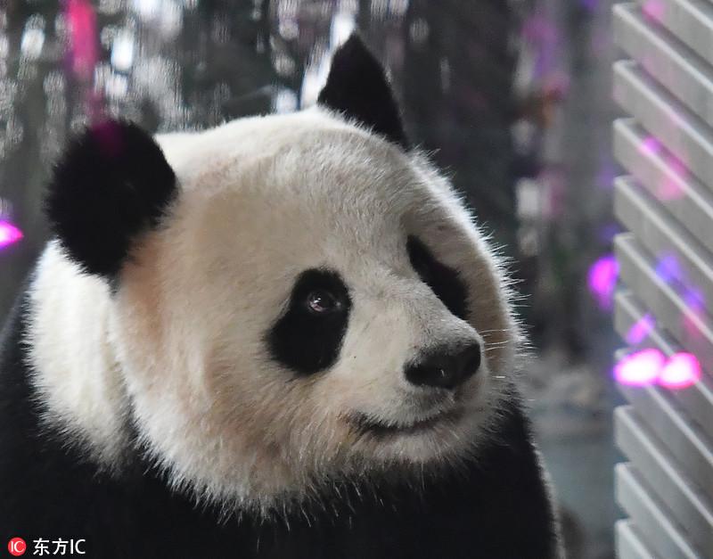 """德国柏林,旅德大熊猫""""娇庆""""在动物园里啃吃竹子."""
