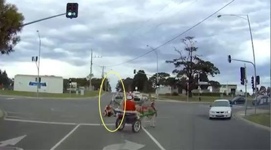 """澳大利亚现""""驴""""拉雪橇  圣诞老人助手不慎摔落"""