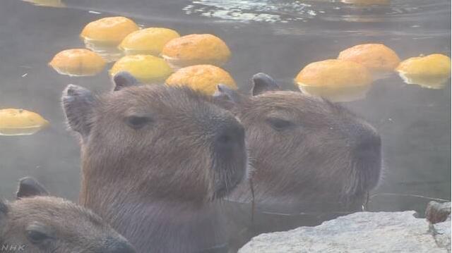 泡温泉的水豚最呆萌!看这表情好享受