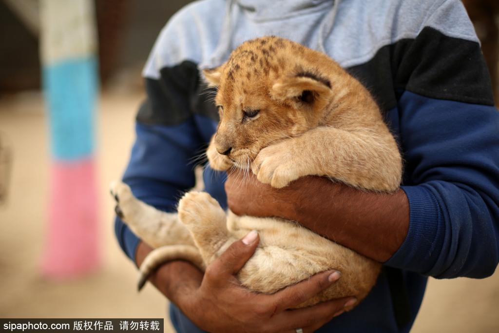 动物园工作人员表示,园中的三只小狮子将以每只3500美元(约合人民币