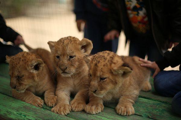 加沙一动物园濒临倒闭 无奈出售幼狮