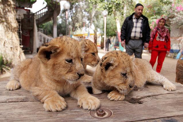 加沙一动物园濒临倒闭 无奈出售小狮子