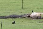 澳农场惊现巨鳄撕咬母牛