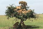 """非洲树上""""长出""""六只狮子"""