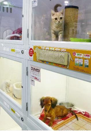 """日本人喂养宠物猫数量首超宠物狗 带狗散步成""""麻烦"""""""