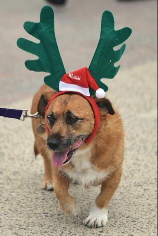 """圣诞季的警钟!谨防宠物狗""""巧克力中毒"""""""