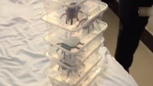 男子自制保温棚引发火灾 烧死400多只宠物蜘蛛