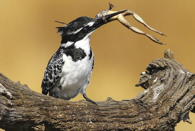 南非翠鸟枝头上霸气生吞整只青蛙