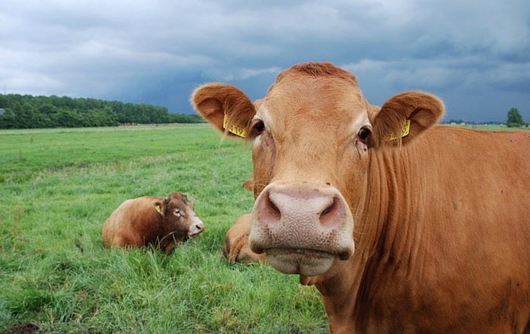 澳大利亚饲养员用无人机卖活牛