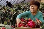 河北怀来:错季设施农业助农民增收