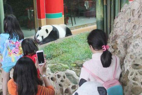 """特写:中国国宝印尼掀""""熊猫热"""""""