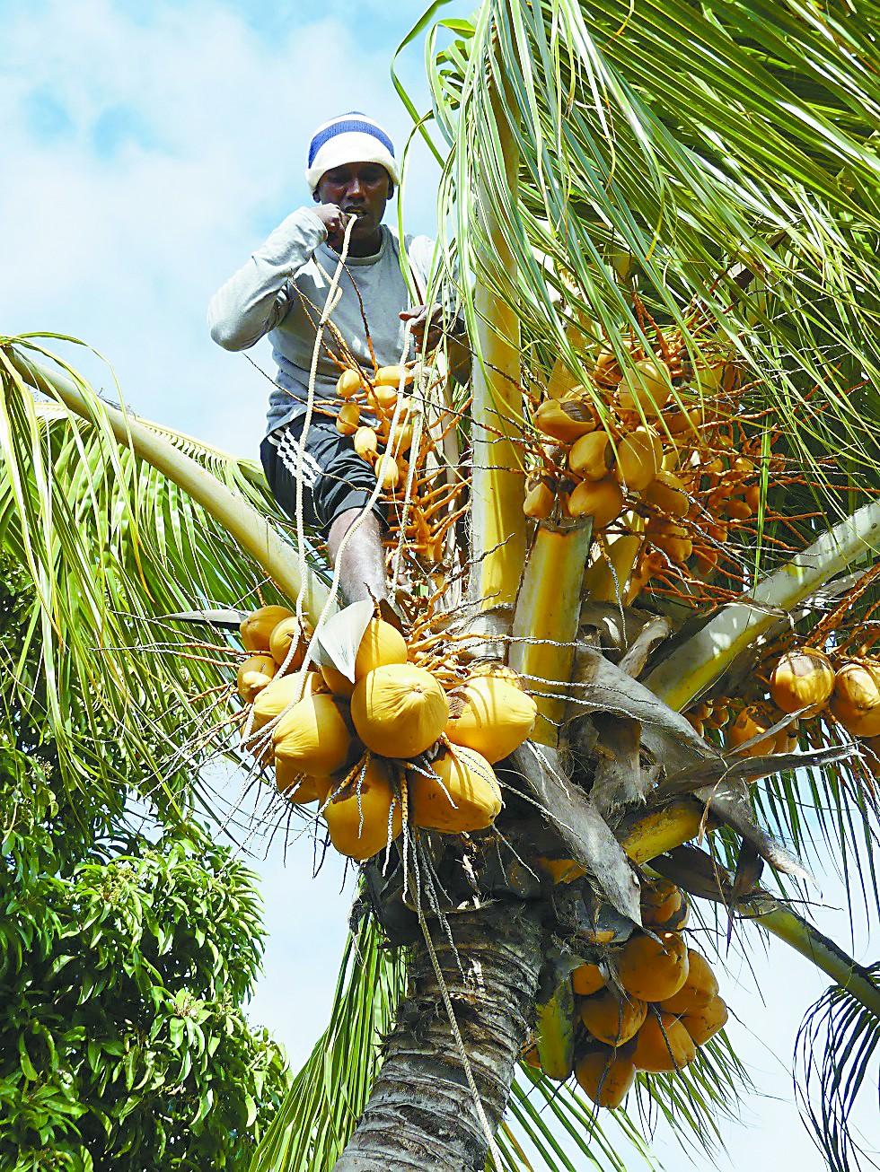 毛里求斯采椰人一身绝活