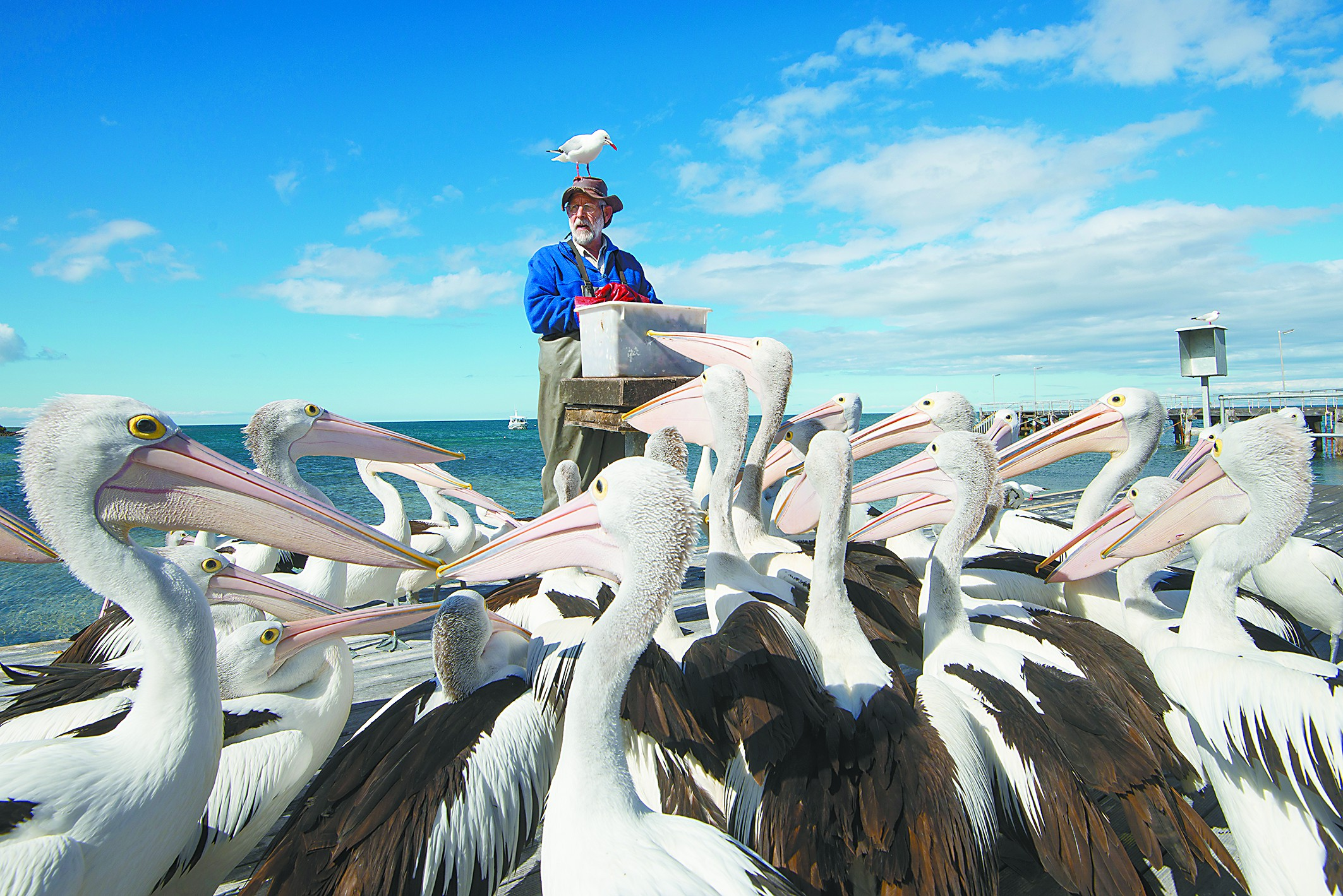 鹈鹕秀每天上演 到袋鼠岛跟野生动物一起跨年
