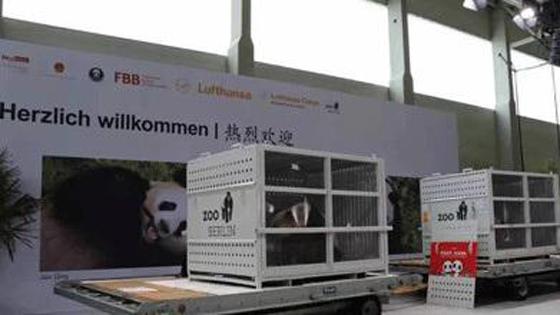 法媒:中国大熊猫抵德半年 霸屏动物园热搜榜!