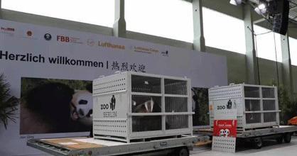 法媒:中国大熊猫抵德半年 霸屏动物园热搜