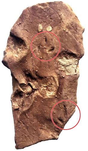 媒体:中美学者在西藏首次发现鸟类足迹化石