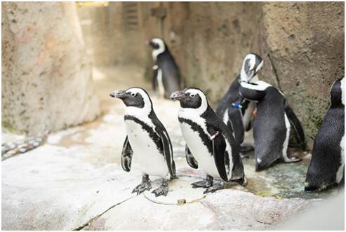 加拿大遭遇最寒冷跨年夜 动物园紧急更换企鹅住所