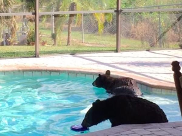不速之客!美国一男子家中泳池惊现两小熊