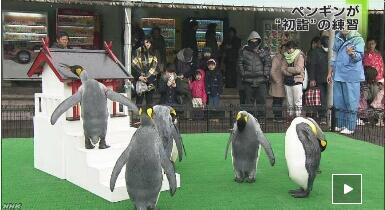 日本水族馆30只企鹅正月前开始练习参拜神社