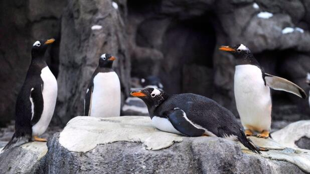加拿大天寒地冻致航班大乱 企鹅也不得不避寒