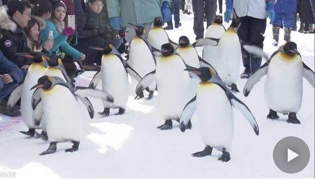 日本旭山动物园新年首次开园 企鹅步履蹒跚模样可爱