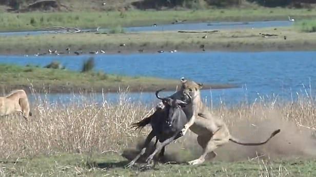 南非怀孕母角马逃跑路线错误惨遭狮群袭击