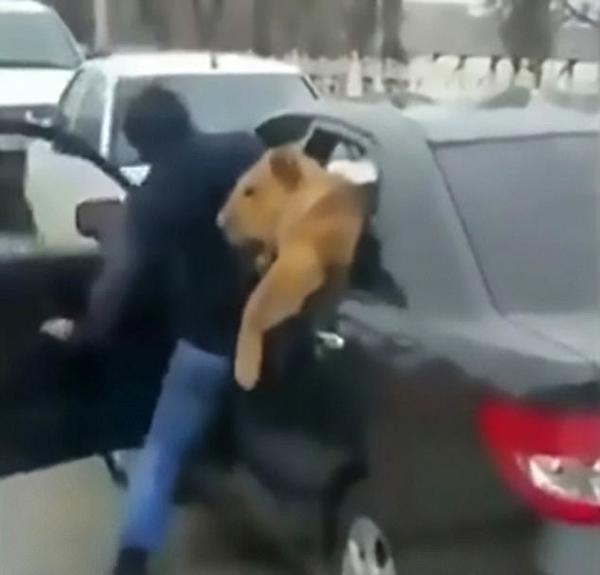 提心吊胆!俄男子当街将宠物狮塞进车后座