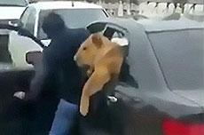 俄男子当街将宠物狮塞进车后座