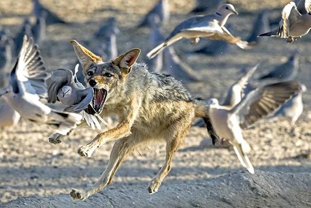 南非豺狼欲猎食白鸽张牙舞爪尽显霸气