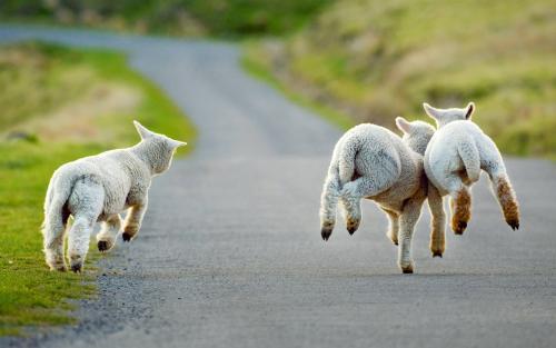 新西兰利用大疆无人机看守羊群