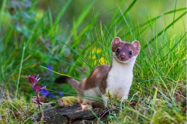 鼬鼠当选2018瑞士年度动物 环保组织吁保护其栖息地