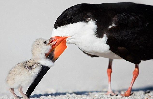 暖心!小鸟主动送妈妈抱抱感谢其优先喂食