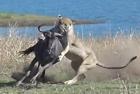 南非母角马惨遭狮群袭击